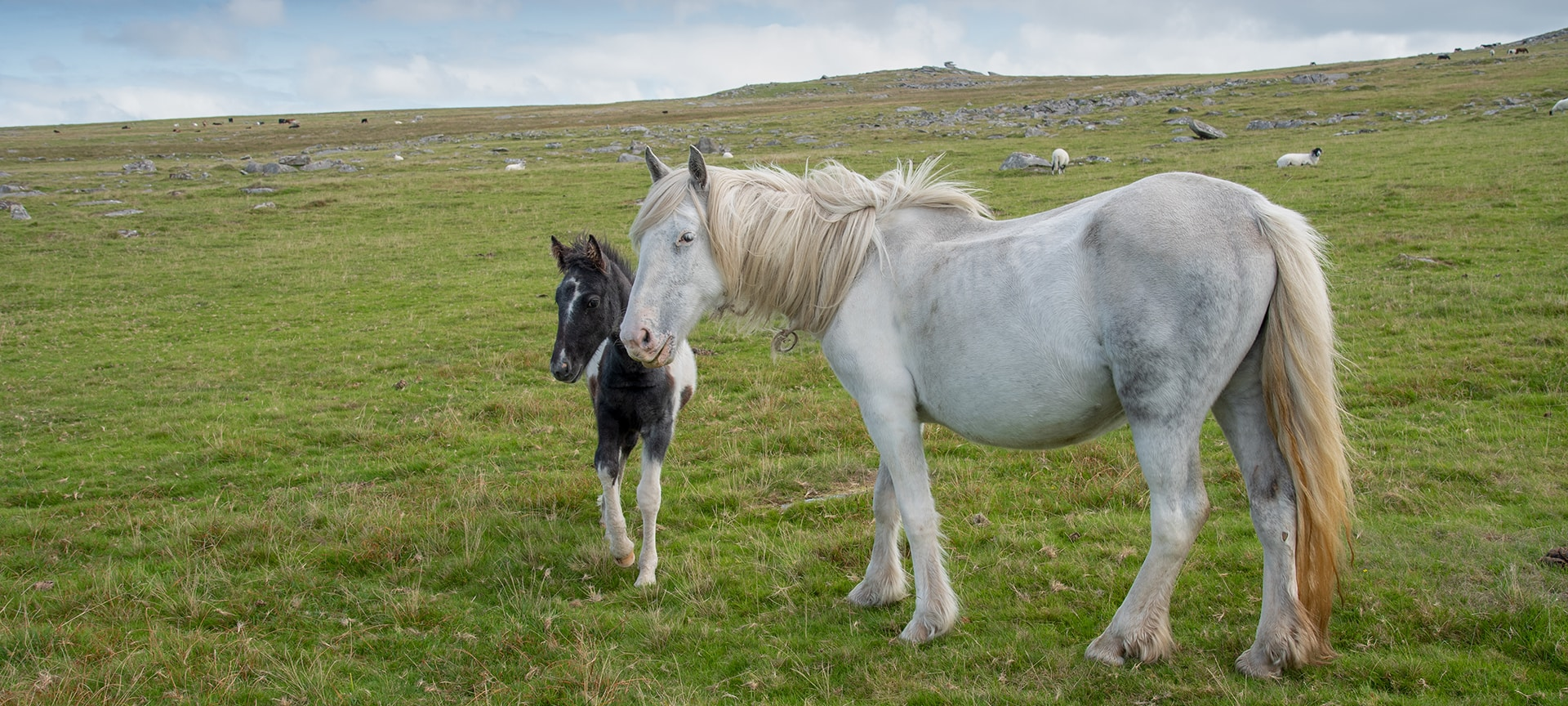 The wild horses and ponies that roam Bodmin Moor are a captivating sight along with the many Bronze Age features, hut circles and countless standing stones which are clearly visible on any walk across the moor.