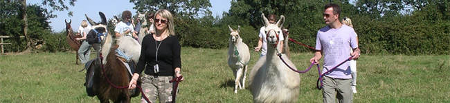 Looking for something different to do in East Devon? Why not go llama trekking? These intelligent but gentle animals love being accompanied on a walk.