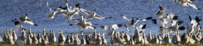 RSPB Avocet cruises are wonderful nature cruises that set off from the idyllic town of Topsham in South Devon. The avocet has made the Exe Estuary their home and you don't have to be a bird spotter to get excited about watching them.