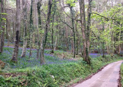 In springtime bluebells can be seen in the lane leading toThe Artist's Studio, Widworthy