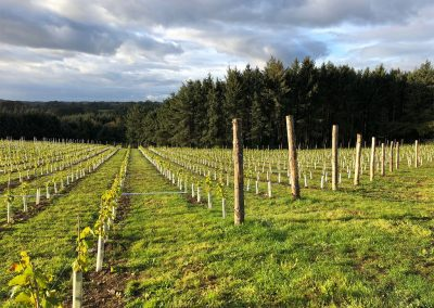 The vineyards at Tregoninny Vineyard and Woodland Farmhouse, Tresillion